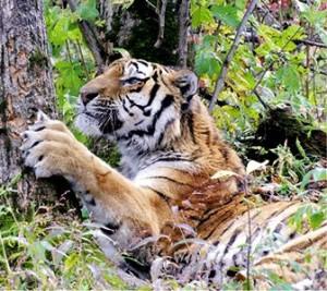 gazprom_transgaz_tomsk_tigr