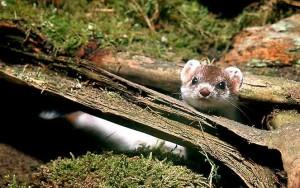 mamiferos-roedores4